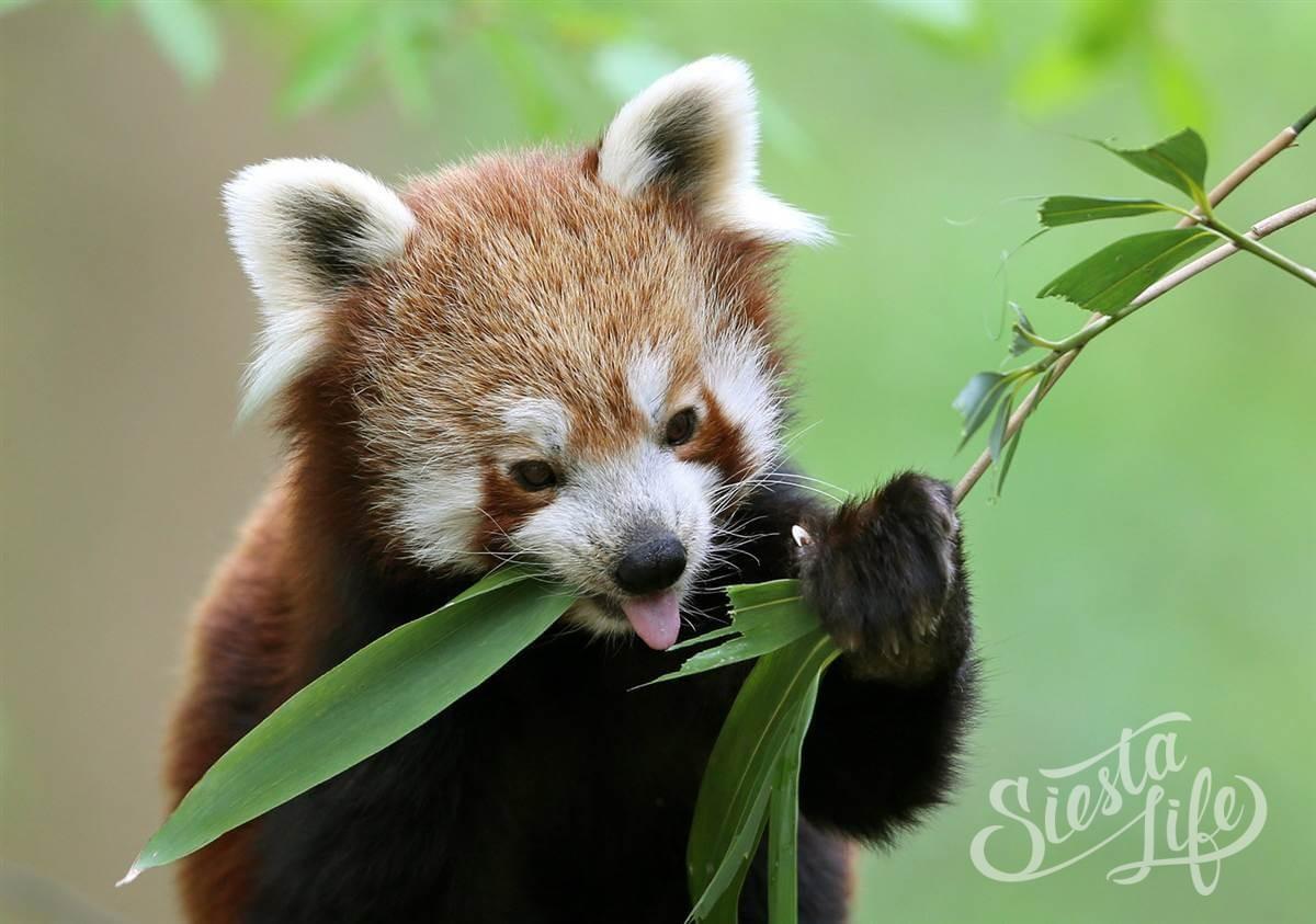 Красные панды — новые питомцы Лоро-Парка