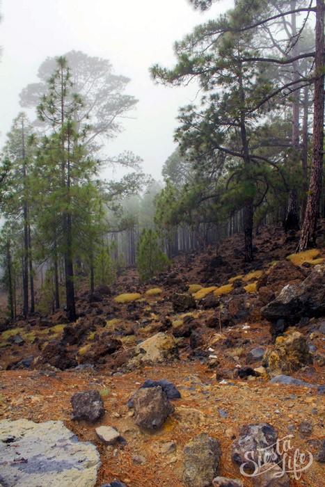 Канарская сосна может укореняться на вулканической лаве