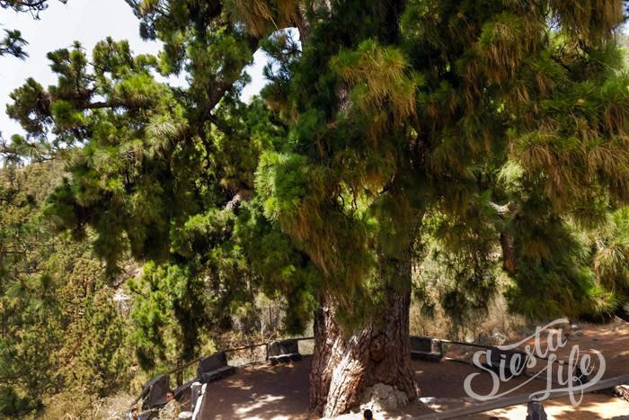 самая высокая канарская сосна 60 метров в высоту