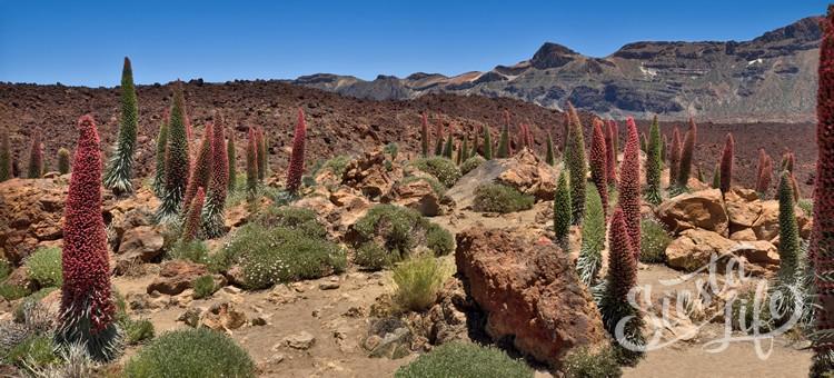 Синяк Вильдпрета (Echium wildpretii) на Тенериф