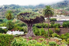 драконово дерево миниатюра