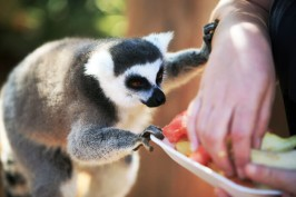 Лемур ест фрукты в Манки Парке на Тенерифе