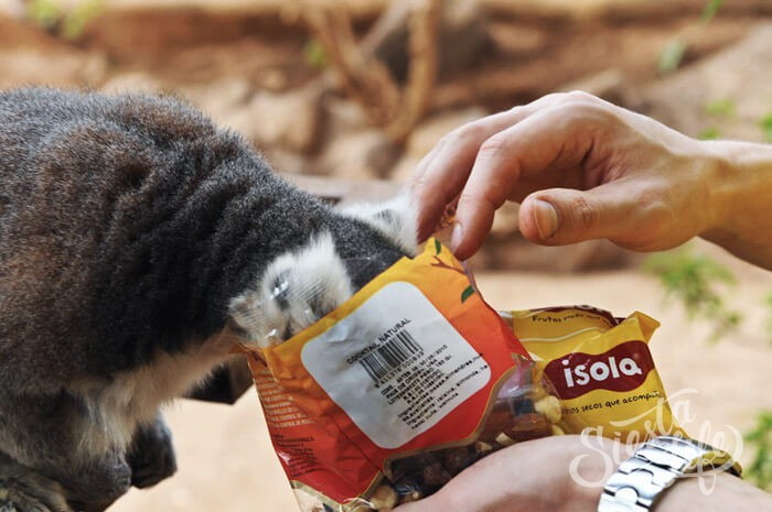 Посетители Манки парка кормят лемура