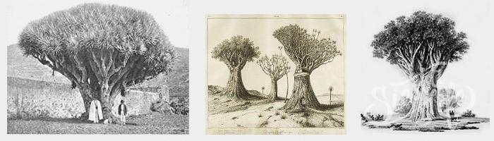 Старинные изображения Драконового дерева