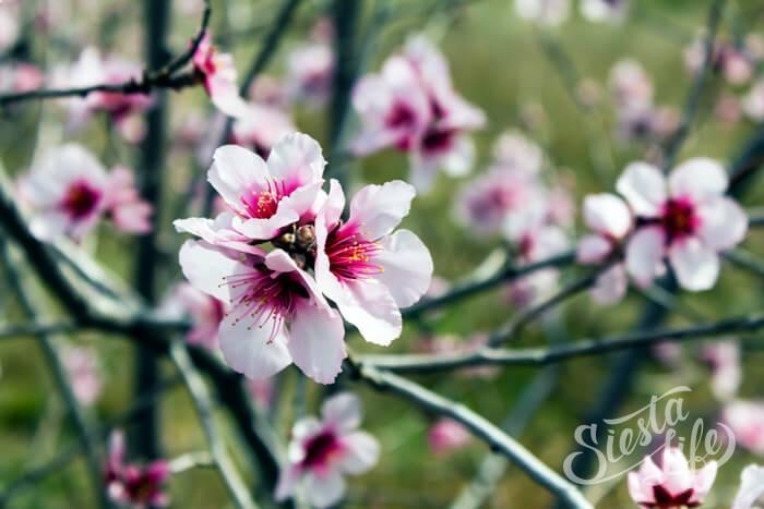 Цветение миндаля на Тенерифе